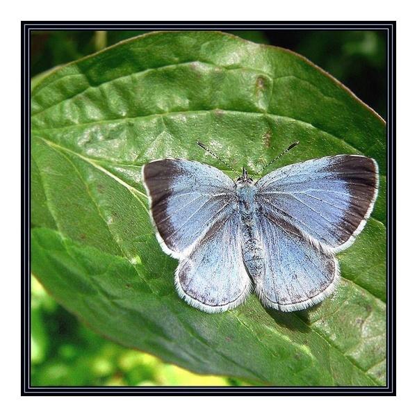 Holly Blue by fentiger
