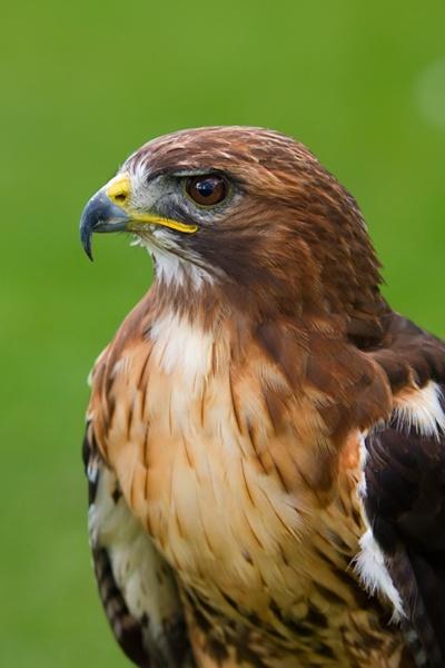 Bird of Prey by pj.morley