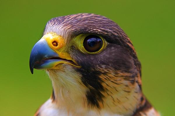 Falcon by pj.morley