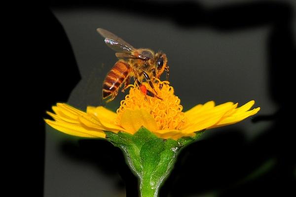 A Bee on A Flower by konu