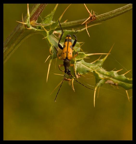 Agapanthia-villosovirdescens- by AnthonyF