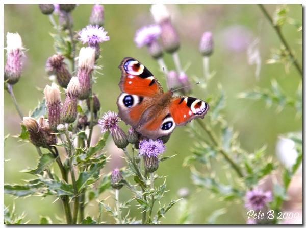 Peacock Butterfly by pberridge