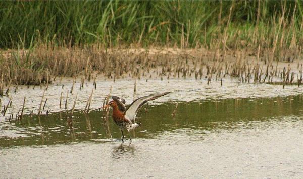 Black Tailed Godwit by Kevhan