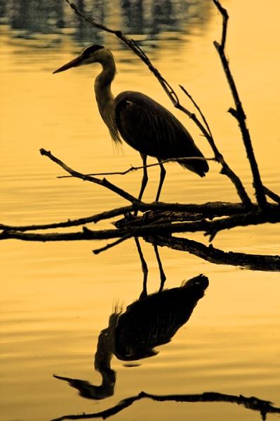 Heron by BOBtheDAZZLER