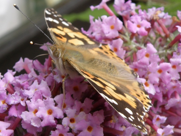 Painted Lady by Rach1970