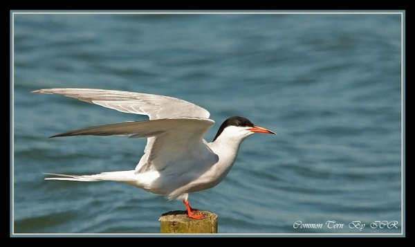 Common Tern by iancam
