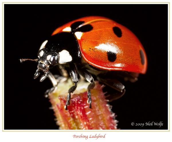 Perching Ladybird by lobo_blanco