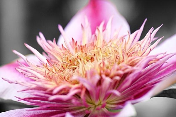 Pink Fluffy Flower by stevenclark