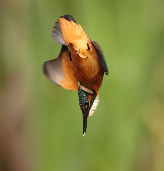 Kingfisher Diving by Karen_Summers