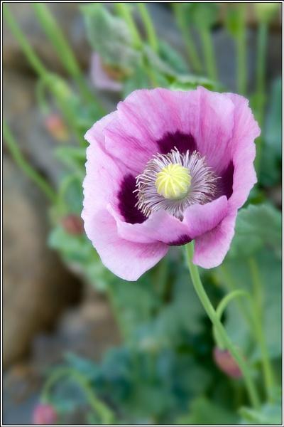 Purple Poppy by david357