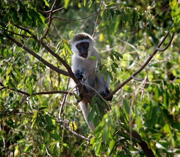 Curious Vervet Monkey by JoshCunliffe
