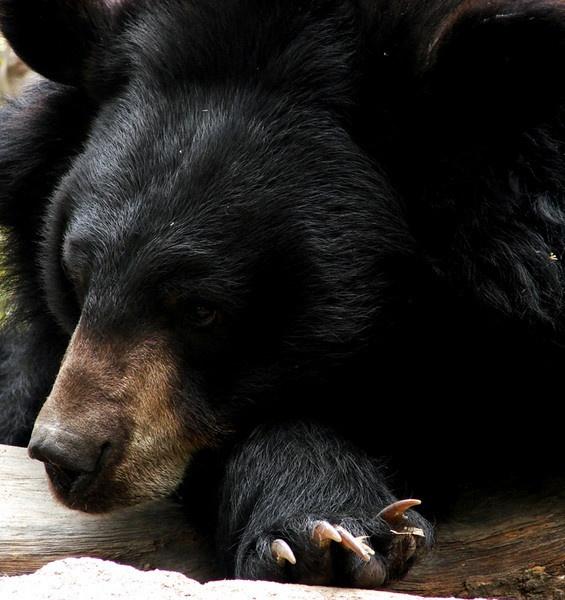 HIMALAYAN BLACK BEAR by Ananda