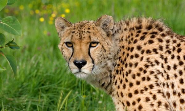 Pepo the Cheetah by baclark