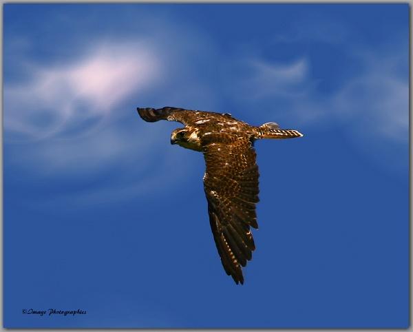 Buzzard in Flight by Imagephotographics