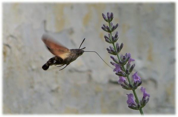 Humming bird moth 2 by Pixiecat