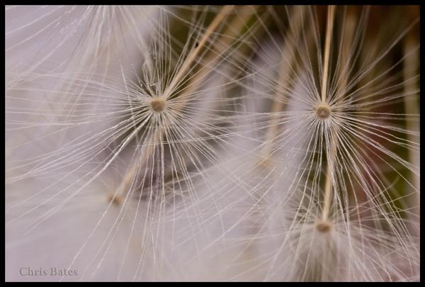 Dandelion by heliflyer