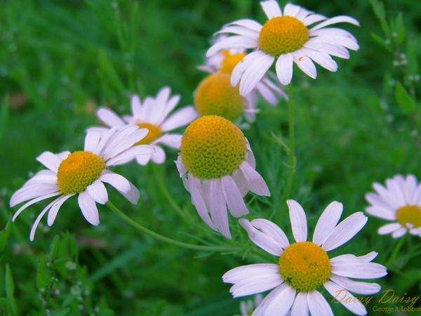 Daisy Daisy by Alska