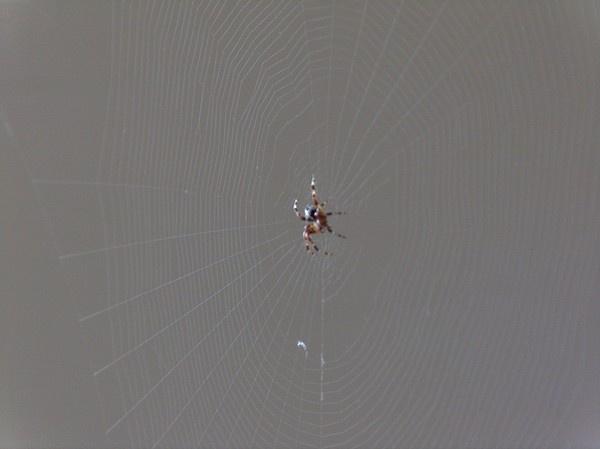 spider by alianar