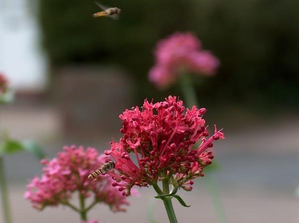 wasp with flower by alianar