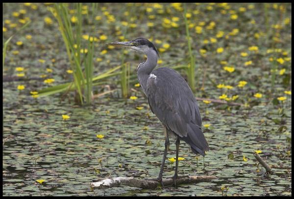 Grey Heron by foot_loose