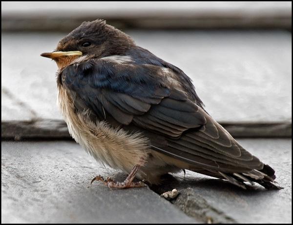 Juvenile Swallow by tralfamadorean