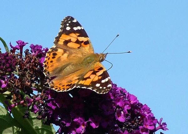 Butterfly by panda