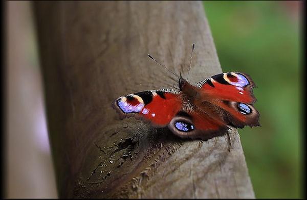 Peacock Butterfly by mjstead