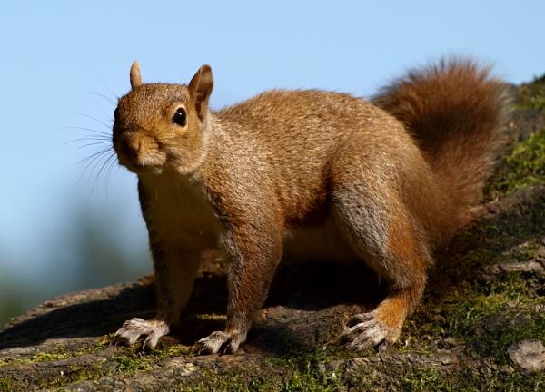 Hungry Squirrel by chensuriashi