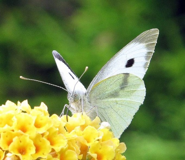 Large White by CHIPPYX1X