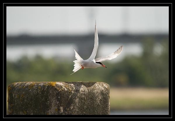 Common Tern Take-off by GaryR