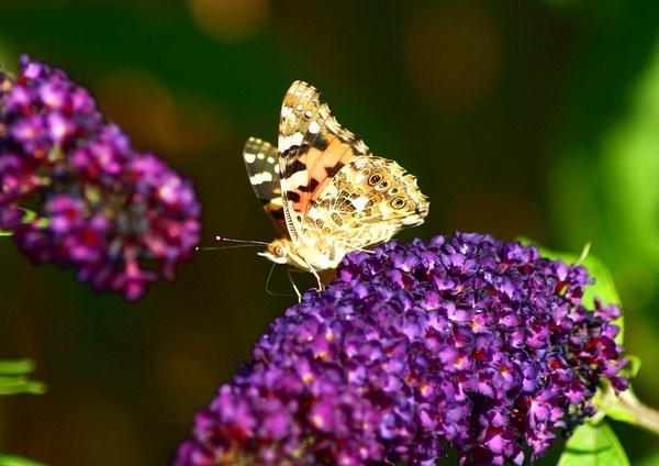 Butterfly by sandycroft