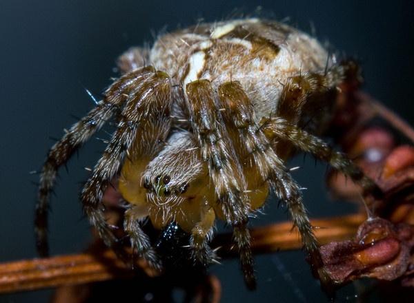 Garden Spider by Phatboy