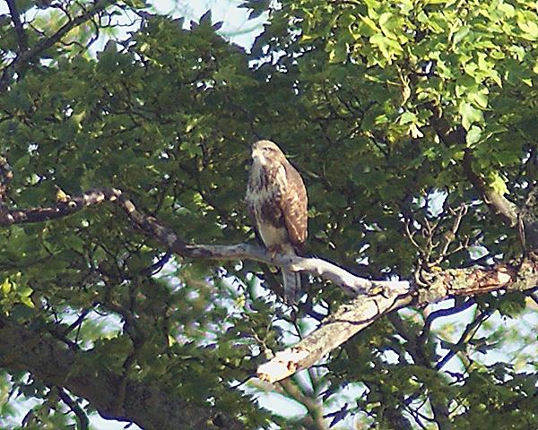 Buzzard in Tree by SiSheff