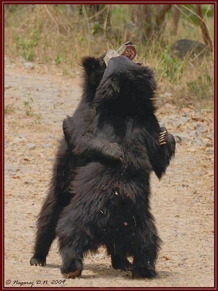 "\""Sumo Wrestlers\"" \""Sloth Bears\"" by nasoteya"