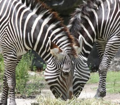 Zebra pair by k13wjd