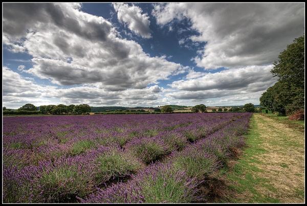 Lavender Field by OMG