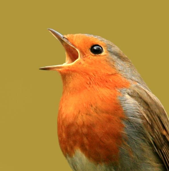 Robin by shelldud