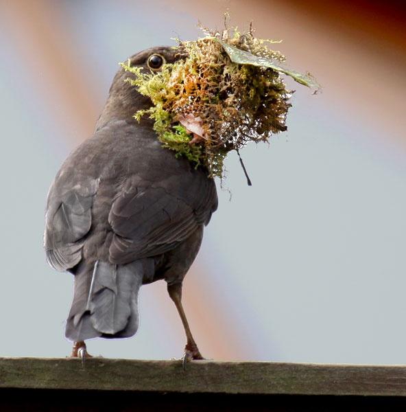 Blackbird building nest by marathonman