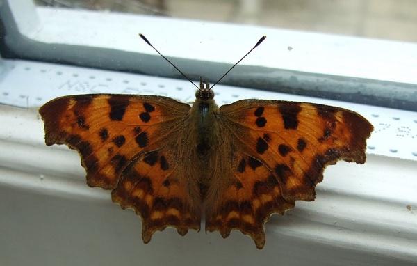 Comma Butterfly by Rubydooby