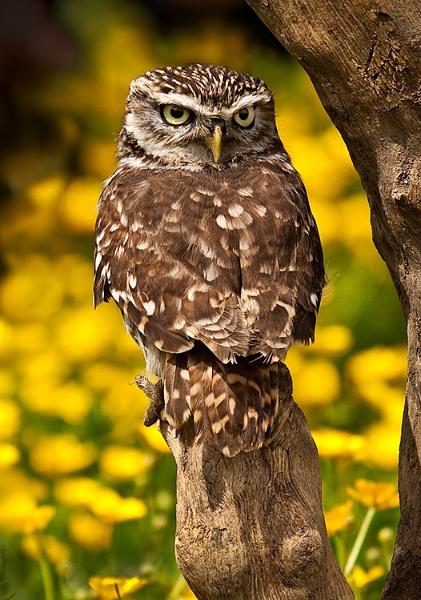 Little Owl by Lorraine_Wallace