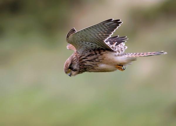 Kestrel(hovering) by Karen_Summers