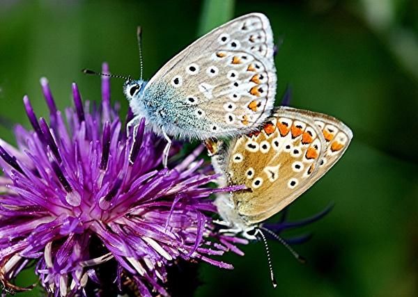Mating Blues by paddyman