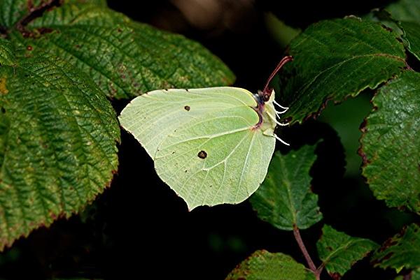 Brimstone Butterfly by paddyman