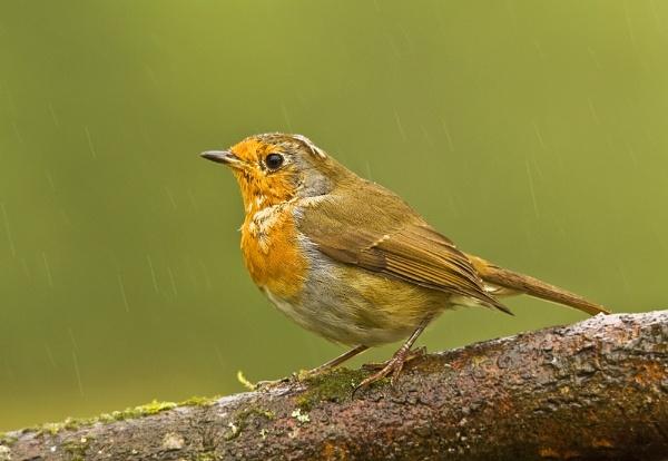 Nearly A Robin by paulrosser