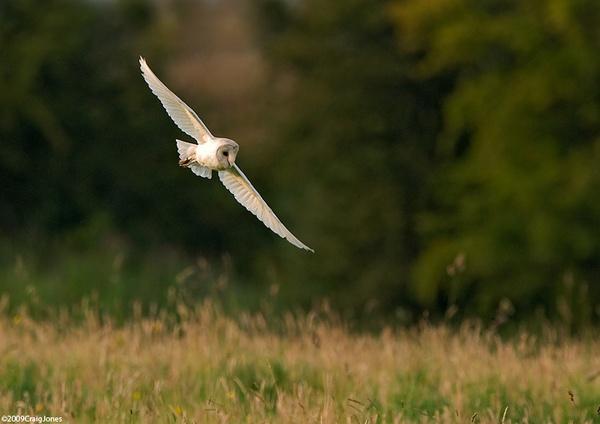 Banking -Barn Owl by CraigJones