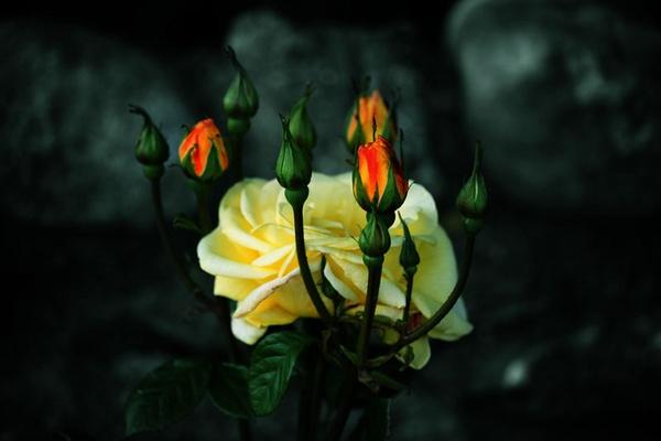 Rose Flames by SandraDee2