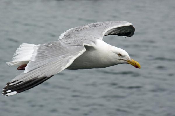 Gull by canonfan46