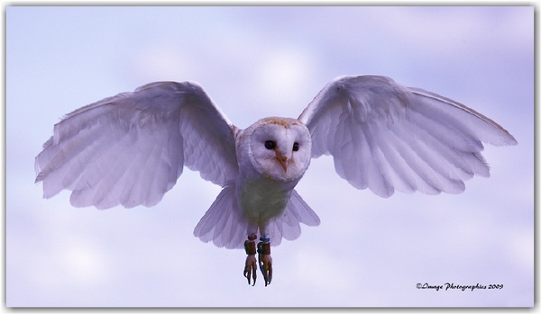 Barn Owl in Flight by Imagephotographics