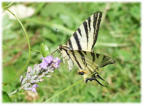 Fake swallowtail by Pixiecat