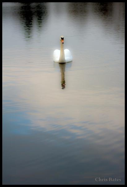 Swan by heliflyer